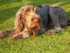 Spinone Italiano the best dogs in the world