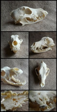 http://cabinetcuriosities.deviantart.com/art/Unknown-Breed-Dog-Skull-With-Bone-Cancer-FOR-SALE-494607794