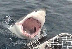 Tubarão-grande foi fotografado em posição de ataque.