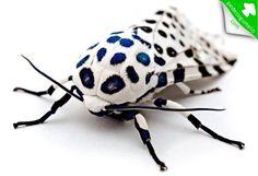 Hypercompe escribonia. Encontrada em todo o sul e leste dos Estados Unidos e México, esta é a Mariposa Leopardo. O que mais chama a atenção neste animal é a incrível coloração de seu corpo. Suas asas possuem um branco brilhante, com algumas manchas em preto azulado. Seu abdômen é azul escuro com manchas na cor laranja e nas pernas há uma faixa em preto e branco.  Fotografia: Kevin Collins.