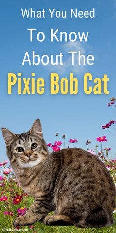 Discover everything you need to know about the Pixie Bob cat and if it's the right breed for you. Includes a brief history of the cat breed, personality, and lots more.. Short Hair Cat Breeds, Baby Cats, Cats And Kittens, Pixie Bob Cats, Small Cat Breeds, Kitten Care, Cat Care Tips, Domestic Cat, Cat Lovers