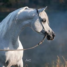 """...and God took a handful of Southerly wind, blew his breath over it, and created the horse. (Bedouin Legend)    Banner tail, flared nostrils, teacup muzzle, dished profile, large soft eyes, width of forehead...  """"Drinkers of the Wind"""""""