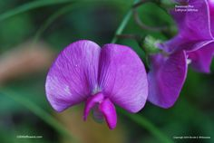 Sweet Pea (Lathyrus latifolius) Perennial Pea, Everlasting Pea. Vine to 6' long. Uses petiole-terminating tendrils to climb. Pink to magenta butterfly-like blossoms with a lower keel of two fused petals below, and two wing petals above, on smooth, unwinged pedicels. A non-native species, can be weedy & invasive, as seen by its spread to almost every state.