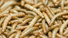 02/23/2015 - Le Cordon Bleu says eating insects is the new culinary frontier.... still rolling out bugs as the food of the future - yippee.
