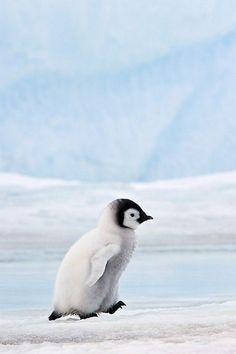 Emperor Penguin Chick >>> what a cutie!
