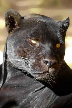 Black Panther by Yellowstoned on DeviantArt I Love Cats, Big Cats, Cool Cats, Beautiful Cats, Animals Beautiful, Black Jaguar Animal, Animals And Pets, Cute Animals, Wild Animals