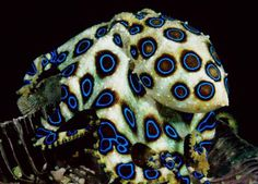 The Blue Ringed Octopus