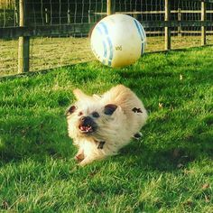 Quick game of football. #jrtofinstagram #jackrussell #jackrussellterrier #dog #puppy #football @the_adventures_of_benji