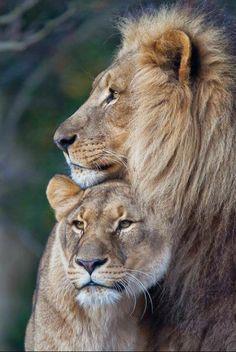 Lion and Lioness . - - Lion and Lioness … – Effektive Bilder, d - Beautiful Cats, Animals Beautiful, Animals And Pets, Cute Animals, Wild Animals, Baby Animals, Lion Couple, Gato Grande, Lion Love