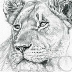 Original drawing of Lioness. Black & white ink realistic Illustration signed by Stéphane Alsac - Wildlife Artist. See the other original drawings of wild animals. Pencil Drawings Of Animals, Dark Art Drawings, Animal Sketches, Realistic Lion Drawing, Cat Drawing, Big Cats Art, Cat Art, Tiger Sketch, Lion Silhouette