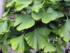 1 potted Ginkgo biloba Maidenhair cell Trees Disease free Hardy Medicinal plant