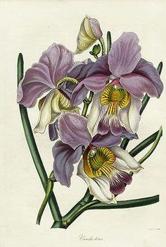 Paxton Magazine Botany Orchids 1834 | Botanical Illustration