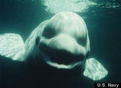 Beluga whale made human Noises