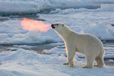 Fire Breathing Bear by Josh Anon on 500px