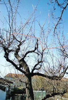 Náhle odumieranie marhuľových stromov