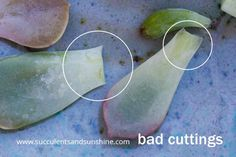 Example of bad succulent leaf propagation removal
