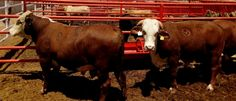 Llegan sementales para repoblar y mejorar genéticamente el hato ganadero de Chihuahua | El Puntero