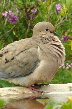 "samanthas-animal-and-nature: "" A mourning dove. All Birds, Love Birds, Pretty Birds, Beautiful Birds, Dove Pigeon, Mourning Dove, Turtle Dove, Pinterest Photos, All Gods Creatures"