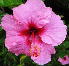 Hot pink Hibiscus. Kukuau Street Hilo Hi.