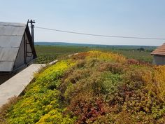 Strešná záhrada na vínnej pivničke vysadená viacerými druhmi Sedum. Vineyard, Sidewalk, Country Roads, Outdoor, Outdoors, Vine Yard, Side Walkway, Walkway, Vineyard Vines