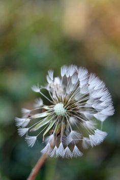 Dandelion 4 by greyrowan
