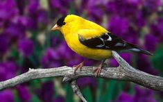 Is there anybody who does not like the canary birds? They are among the most beautiful birds that are created on earth. Beautiful Bird Wallpaper, Birds Wallpaper Hd, Animal Wallpaper, Windows Wallpaper, Computer Wallpaper, Wallpaper Downloads, Mobile Wallpaper, Pretty Birds, Love Birds
