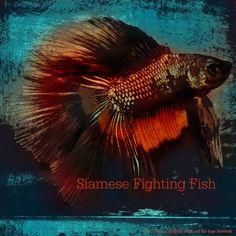 October 14, 2015 Totem Card of the Day - Siamese Fighting Fish :http://bearmedicinewalker.com/2015/10/14/october-14-2015-totem-card-of-the-day-siamese-fighting-fish/