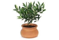 Grow your own olives and transform a corner of your home into a patch of Mediterranean hillside with this petite live olive tree in a clay pot.