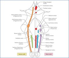 Nuclei, Functional Components and Distribution of Cranial Nerves - Textbook of Clinical Neuroanatomy, 2 ed.