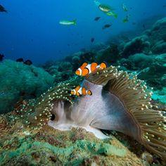 2016 annual #clownfish release day Saturday 19th March with #pimalaikohlanta more details to follow! #nemo #nemoshome #pimalairesortandspa #pimalai #lovetheocean #saveouroceans #underwaterlife #fish #amazingthailand #krabi #kohlanta #kantiangbay #coralreefenthusiast #reefbuilders #oceanlife
