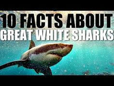 Learn Real Science Facts About Great White Sharks (Since Discovery Channel doesn't do that so much anymore.)