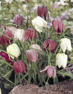 Mixed Checkered Lily Fritillaria - plant bulbs in fall for spring blooms (hardy in zone 6)