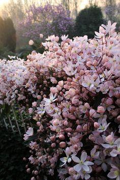 Robert Plant, Clematis, Trees To Plant, Garden Inspiration, Garden Plants, Garden Landscaping, Greenery, Garden Design, Flora