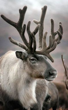 "This was pinned as ""deer"", what the hell? I see this all the time calling CARIBOU, or ELK, deer? I or even moose I seen the other day labeled, ""mule deer"". Nature Animals, Animals And Pets, Wild Animals, Arctic Animals, Nature Nature, Mother Nature, Beautiful Creatures, Animals Beautiful, Photo Animaliere"