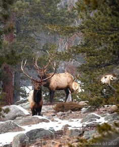 Elk - Although native to North America and eastern Asia, they have adapted well to countries where they have been introduced, including Argentina, Australia, and New Zealand.