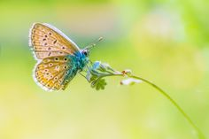common blue by Rian Krenzer            www.facebook.com/riankrenzerphoto  for more.. :)sony a6000, vivitar 90/2.8 macro            Rian Krenzer: Photos                                 #nature #photography