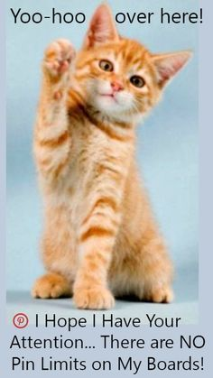 I hope I have your attention ♥ No Pin Limits on My Boards ♥ Happy Pinning ♥ Tam ♥ Girl Sleeves, Ginger Cats, Cute Cats, Funny Cats, That Way, Welcome, Cats And Kittens, Cute Animals, Kitty