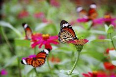 Zinnias offer butterflies nectar and easy landings.