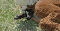 Alpaca care and raising camelids