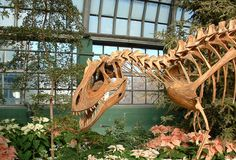 A Deltadromeus on display in Chicago Dinosaur in the Plants - Garfield Park Conservatory - Deltadromeus - Wikipedia, the free encyclopedia http://nl.pinterest.com/tsjok/dinosauricon-c-ceratosaurus/