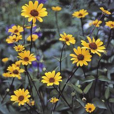 Heliopsis Summer Nights Flower Plants are excellent for the back of the border. They are very pretty golden yellow flowers, with orange red centres. Borne on wavy, mainly dark red stems, complimented by purple, red tinged foliage. Night Flowers, Shade Flowers, Yellow Flowers, Planting Flowers, Flower Plants, Hardy Perennials, Summer Nights, Seeds, Pretty