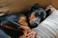 Lazy Doberman by Flint Pond, via Flickr