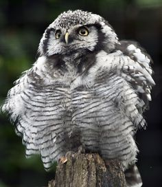 Northern Hawk Owl by Stephen Bridson on Flickr.  STOOOOP