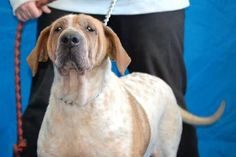 ***SENIOR/SPECIAL NEEDS*** Petango.com – Meet Hope II, a 10 years 10 months Chinese Shar-Pei / Coonhound available for adoption in Salem, OH