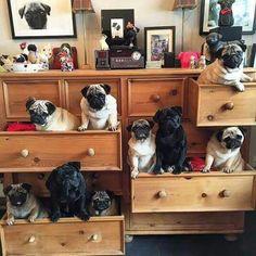 Drawers full of pugs