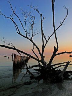 Dawn - tree in the sea, Isla Holbox, Quintana Roo, Mexico