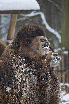 Bactrian camels in the snow by Missud on Flickr.