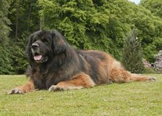 10 Things You Didn't Know About Leonberger The Leonberger, or Leo, is a giant dog with a hard-working spirit and a gentle disposition. Giant Dogs, Big Dogs, Large Dogs, Horses And Dogs, Dogs And Puppies, Doggies, Leonburger Dog, Russian Bear Dog, Caucasian Shepherd Dog