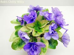!!! Rob's Chilly Willy  (Robinson) - Have this ~~ so pretty w/foliage & blooms