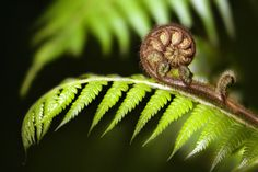 Photo about New Zealand iconic fern (koru) unfurling on the green blurred background. Image of horizontal, green, flora - 25061511 Silver Fern, The Gr, Mood Images, Maori Art, Kiwiana, Woodland Fairy, Blurred Background, South Pacific, Ferns